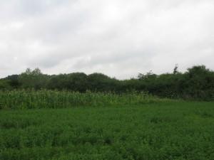Cetatea lui Ștefan se macină sub lanul de porumb
